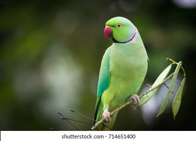 indian parrot images stock