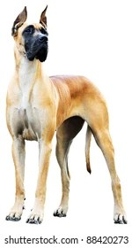 great dane images stock