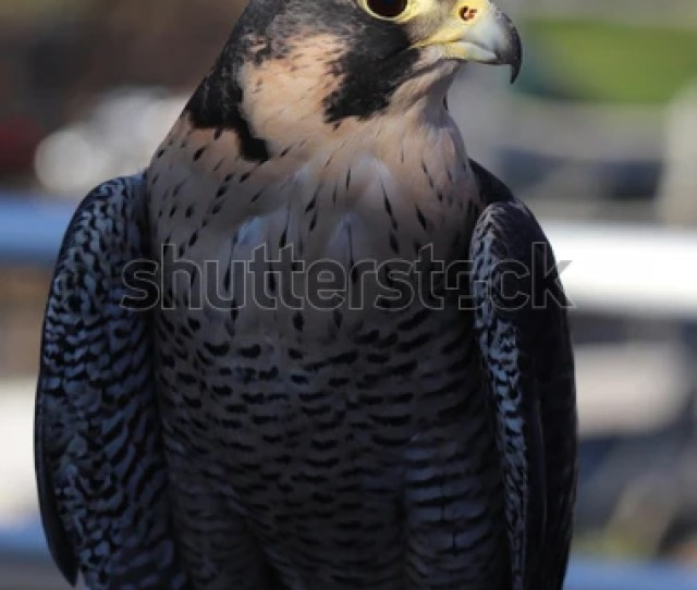 Peregrine Falcon The Fastest Animal On Earth Reaching Speeds Of  Mph As They
