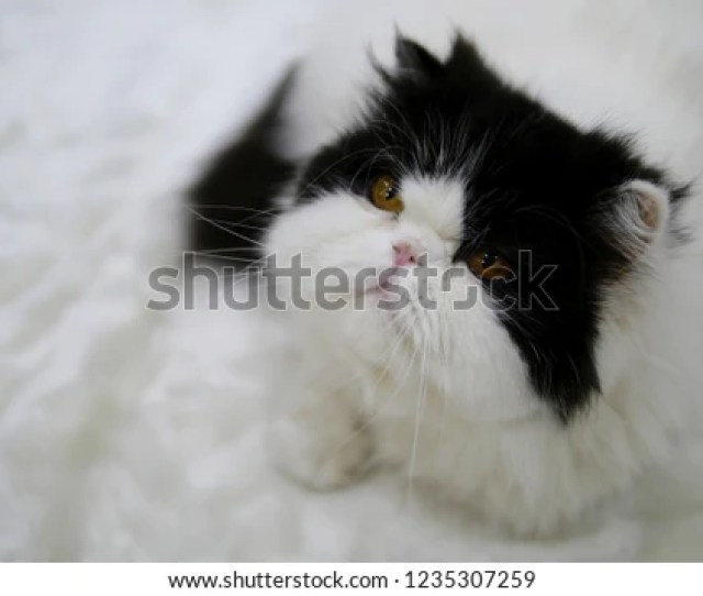Persian Cat Adorable Van Cat With White And Black Fluffy Long Hair Yellow Eyes And