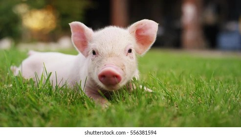 baby pigs images stock