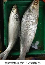 Ikan Bandeng Vector : bandeng, vector, Bandeng, Images,, Stock, Photos, Vectors, Shutterstock
