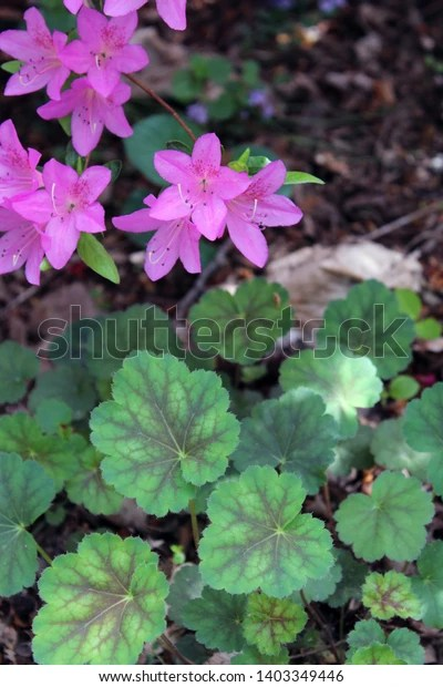 pink azalea blooms and green and pink begonia leaves