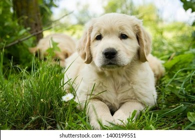 labrador puppy images stock
