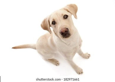 yellow lab images stock