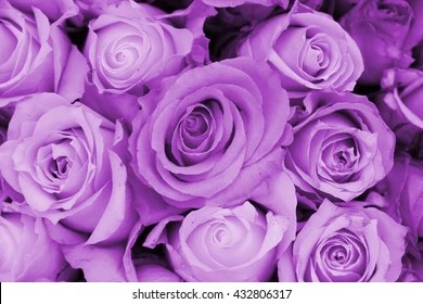 purple rose images stock