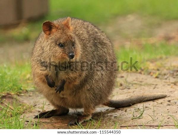 Quokka Setonix Brachyurus Native Australian Animal Stockfoto (Jetzt bearbeiten) 115544350