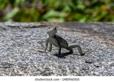 standing lizard images stock