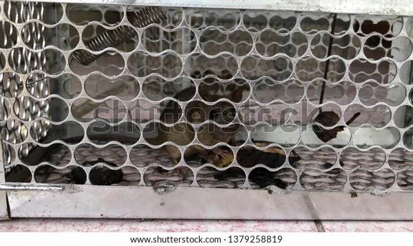 Rat Newborn Baby Mouse Babies Rats Stock Photo (Edit Now) 1379258819