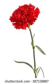 carnations images stock photos