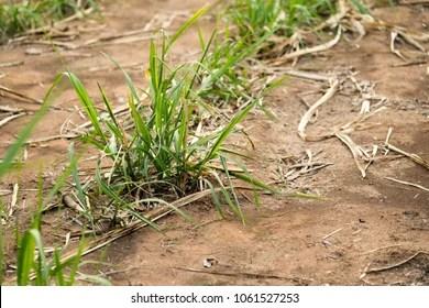 sugarcane seedling images stock
