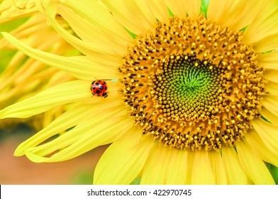 ladybug sunflower stock