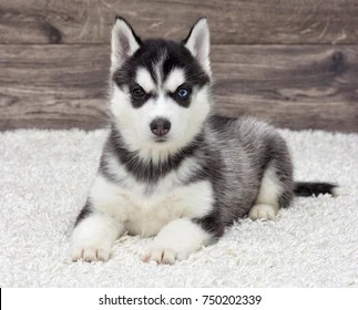 husky baby images stock