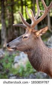Deer Side View : Antlers, Images,, Stock, Photos, Vectors, Shutterstock