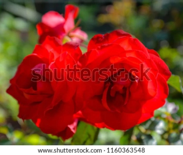 This Gorgeous Couple Of Roses Look Totally In Love Form A Wonderful Valentine Couple