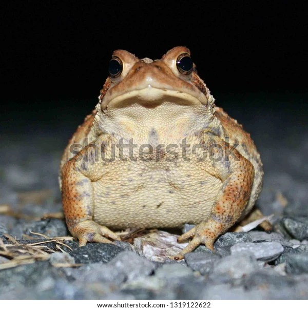 toad up close on gravel at night