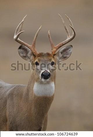 Trophy Whitetail Buck Deer Portrait Showing Stock Photo (Edit Now) 106724639 - Shutterstock