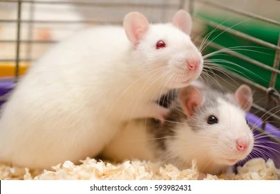 white rat images stock