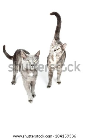 two funny grey kittens