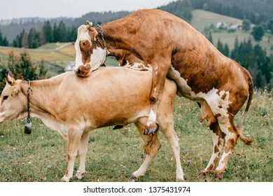 mating cows images stock