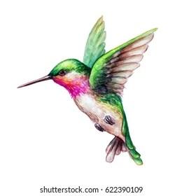 hummingbird stock