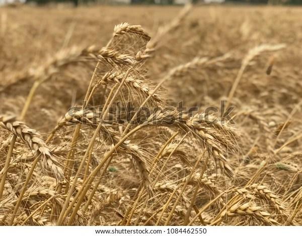 wheat sheaves field shavuot