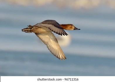 wild duck images stock