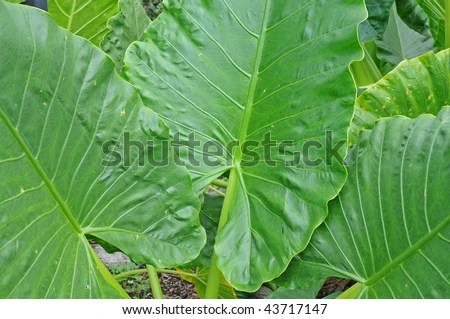 Yam Plant Leaves Stock Photo (Edit Now) 43717147 - Shutterstock