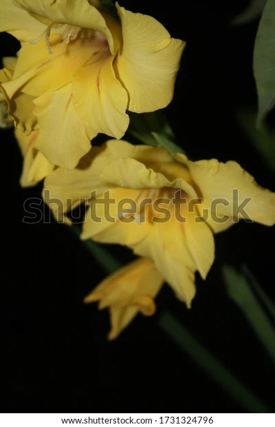 yellow gladiolas at night with flash
