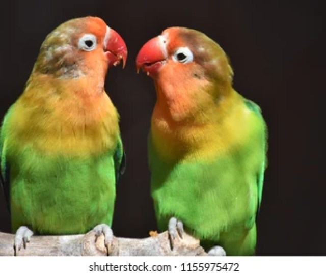 Yellow Green Parrots Are Inseparable Perches On A Perch