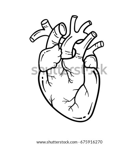 Anatomical Heart Line Art Illustration Vector Stock Vector
