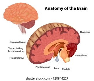 brain diagram pons 2009 dodge ram radio wiring midbrain images stock photos vectors shutterstock the anatomy of a showing various structures within human