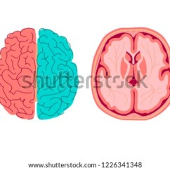 Brain Diagram Inside Cat 5e Wiring Wall Jack Anatomy Human Medical Structure Stock Vector Royalty Of The Cross Section