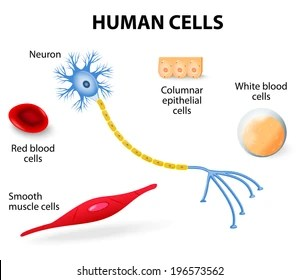 human muscle cell diagram s10 ecm wiring cells images stock photos vectors shutterstock anatomy of neuron red and white blood columnar epithelial