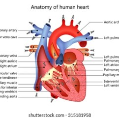 Realistic Heart Diagram Ezgo Wiring Electric Golf Cart Of The Human Images Stock Photos Vectors Shutterstock