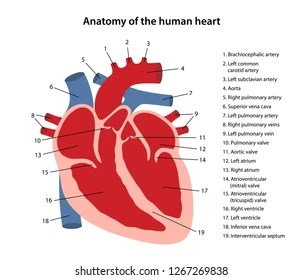 realistic heart diagram cobra alarm wiring of the human images stock photos vectors shutterstock anatomy cross sectional with main parts labeled
