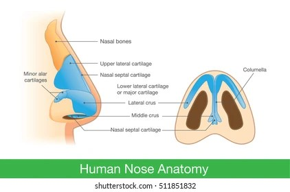 diagram of the human nose simplicity landlord wiring anatomy images stock photos vectors shutterstock in side view and below illustration about description components