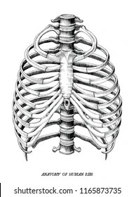 Rib Cage Drawing Simple : drawing, simple, Drawing, Stock, Images, Shutterstock