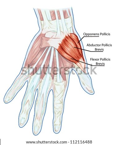 hand muscles diagram h22a wiring harness palm muscle great installation of anatomy muscular system stock vector royalty free rh shutterstock com back