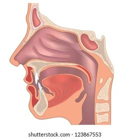 diagram of the human nose 2 way wiring anatomy images stock photos vectors shutterstock and throat organ structure medical sign