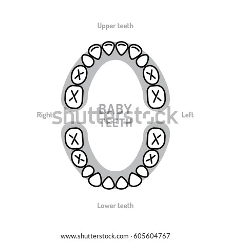 Baby Tooth Chart Baby Mouth Primary Stock Vector (Royalty
