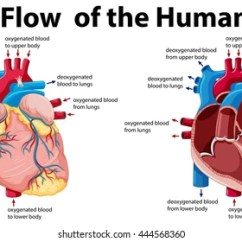 Realistic Heart Diagram 1976 Honda Cb750f Wiring Of The Human Images Stock Photos Vectors Shutterstock Blood Flow Illustration