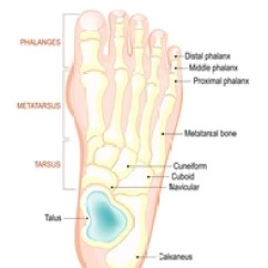 Bones In Your Foot Diagram The 12 Volt Wiring Images Stock Photos Vectors Shutterstock Of Human Anatomy Shows Placement And Names All
