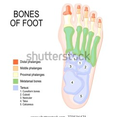Bones In Your Foot Diagram 1987 Chevy Truck Wiring Human Anatomy Shows Stock Vector Royalty Free Of The Placement And Names All