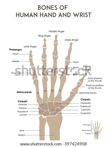 wrist and hand unlabeled diagram bones of foot pain human medically accurate stock vector royalty free minimal illustration for web or print