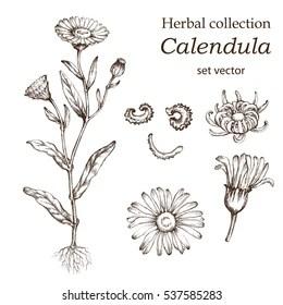 Tea Plant Illustration Images, Stock Photos & Vectors