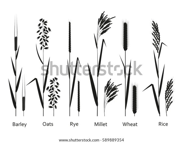 Cereals Plants Set Carbohydrates Sources Vector Stock