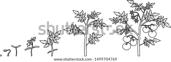 Coloring Page Life Cycle Tomato Plant 스톡 벡터(로열티 프리) 1499704769