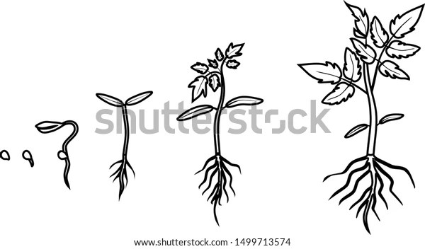 Coloring Page Life Cycle Tomato Plant Stock Vector