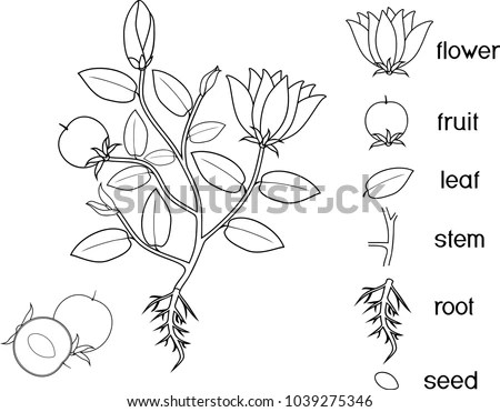 Coloring Page Parts Plant Morphology Flowering Stock